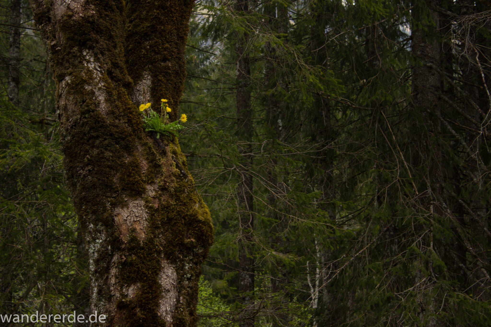 Wanderung im Oytal bei Oberstdorf im Allgäu, Bayern, schöner dichter und grüner Wald  im Oytal, Wanderweg leider Asphalt, aber die Umgebung entschädigt, sehr schöne Atmosphäre, Löwenzahn wächst auf Baum