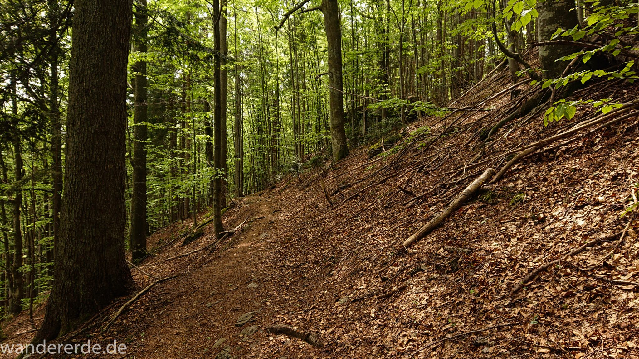 Rundwanderung zum Großen Falkenstein im Bayerischen Wald mit Start beim Zwieslerwaldhaus, auf dem Wanderweg Heidelbeere mit traumhaft schönem und dichtem Wald, toller naturbelassener und schmaler Wanderweg mit kühlendem Schatten, Frühjahr im bayerischen Wald
