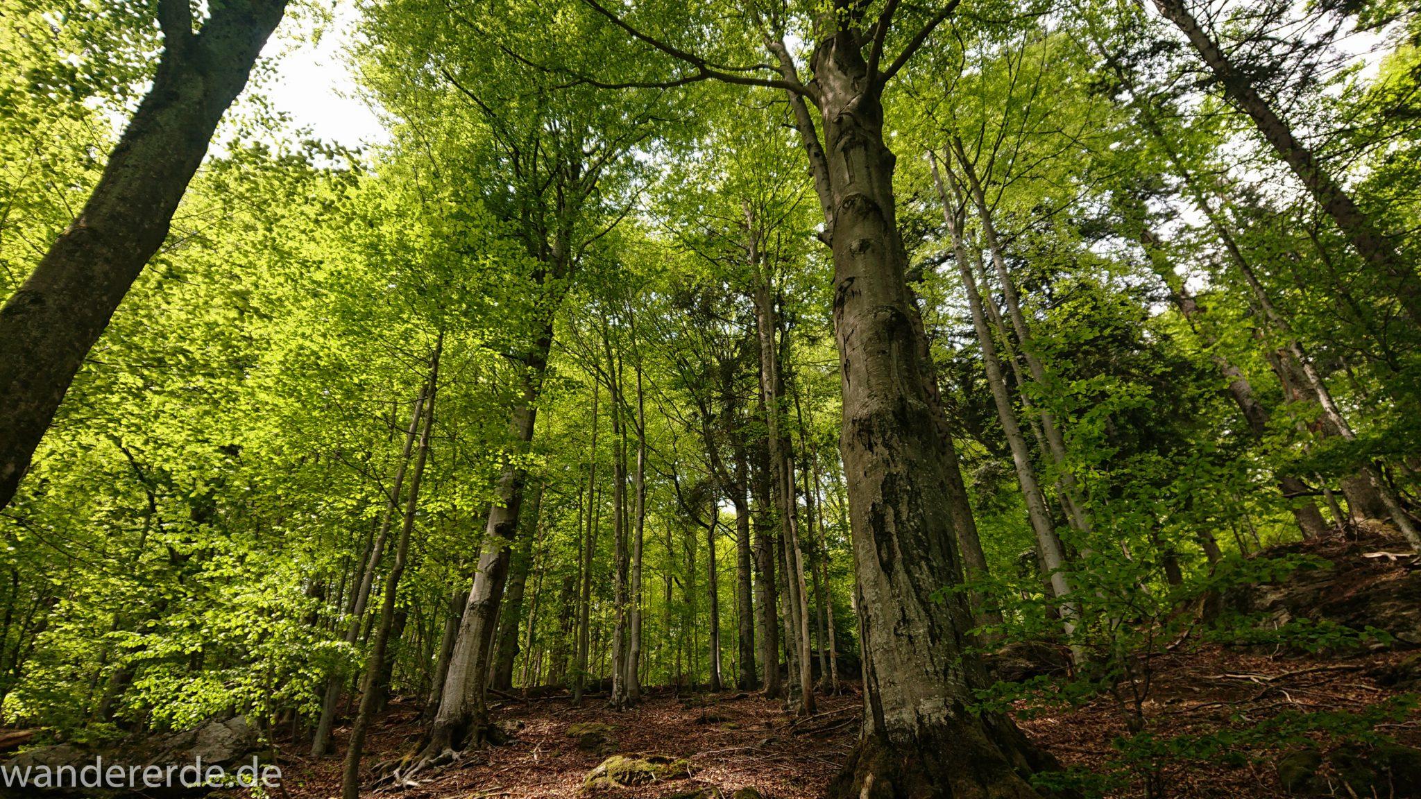 Rundwanderung zum Großen Falkenstein im Bayerischen Wald mit Start beim Zwieslerwaldhaus, auf dem Wanderweg Heidelbeere mit traumhaft schönem und dichtem Wald, kühlender Schatten, Frühjahr im bayerischen Wald, riesige Laubbäume
