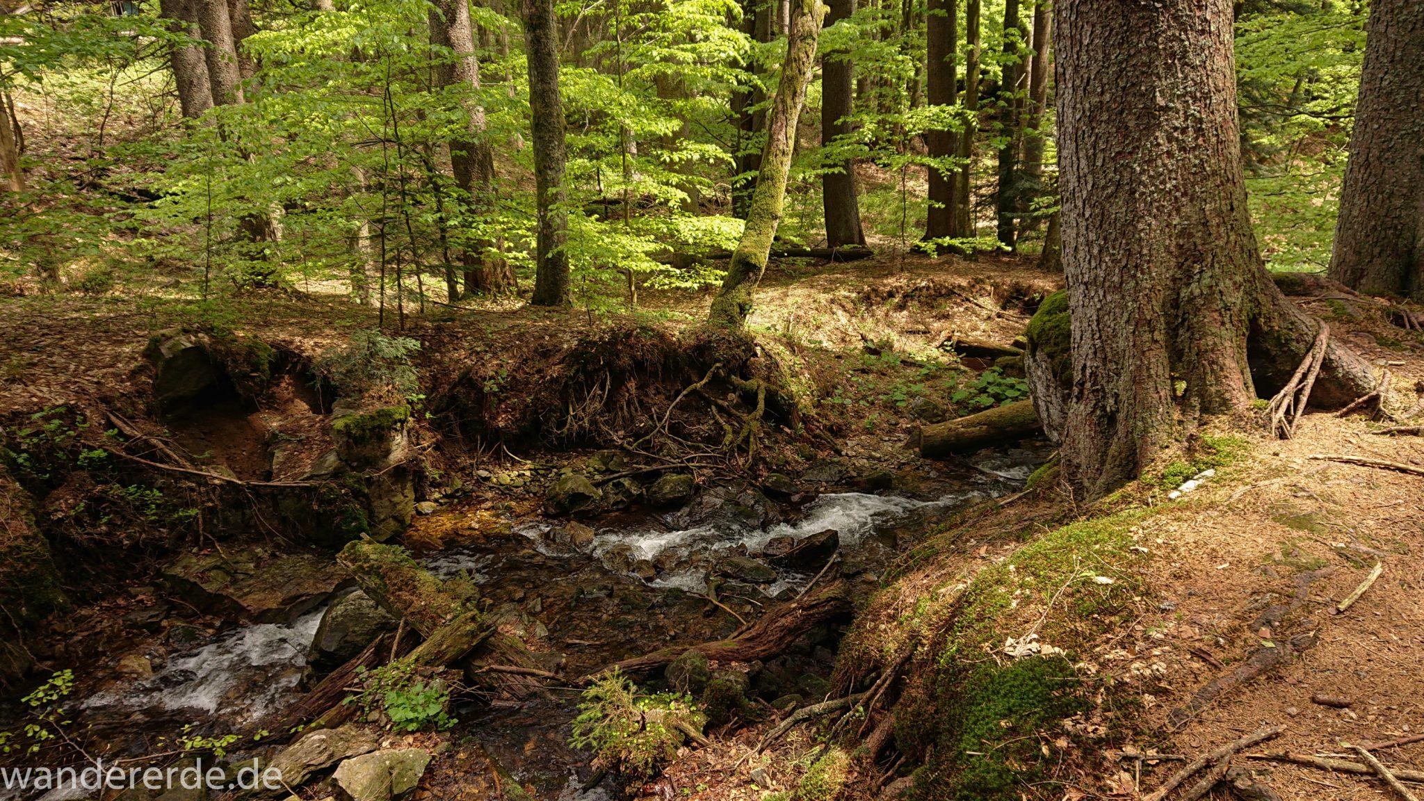 Rundwanderung zum Großen Falkenstein im Bayerischen Wald mit Start beim Zwieslerwaldhaus, auf dem Wanderweg Heidelbeere mit traumhaft schönem und dichtem Wald, kühlender Schatten, Frühjahr im bayerischen Wald, ein kleiner Bach fließt Richtung Tal