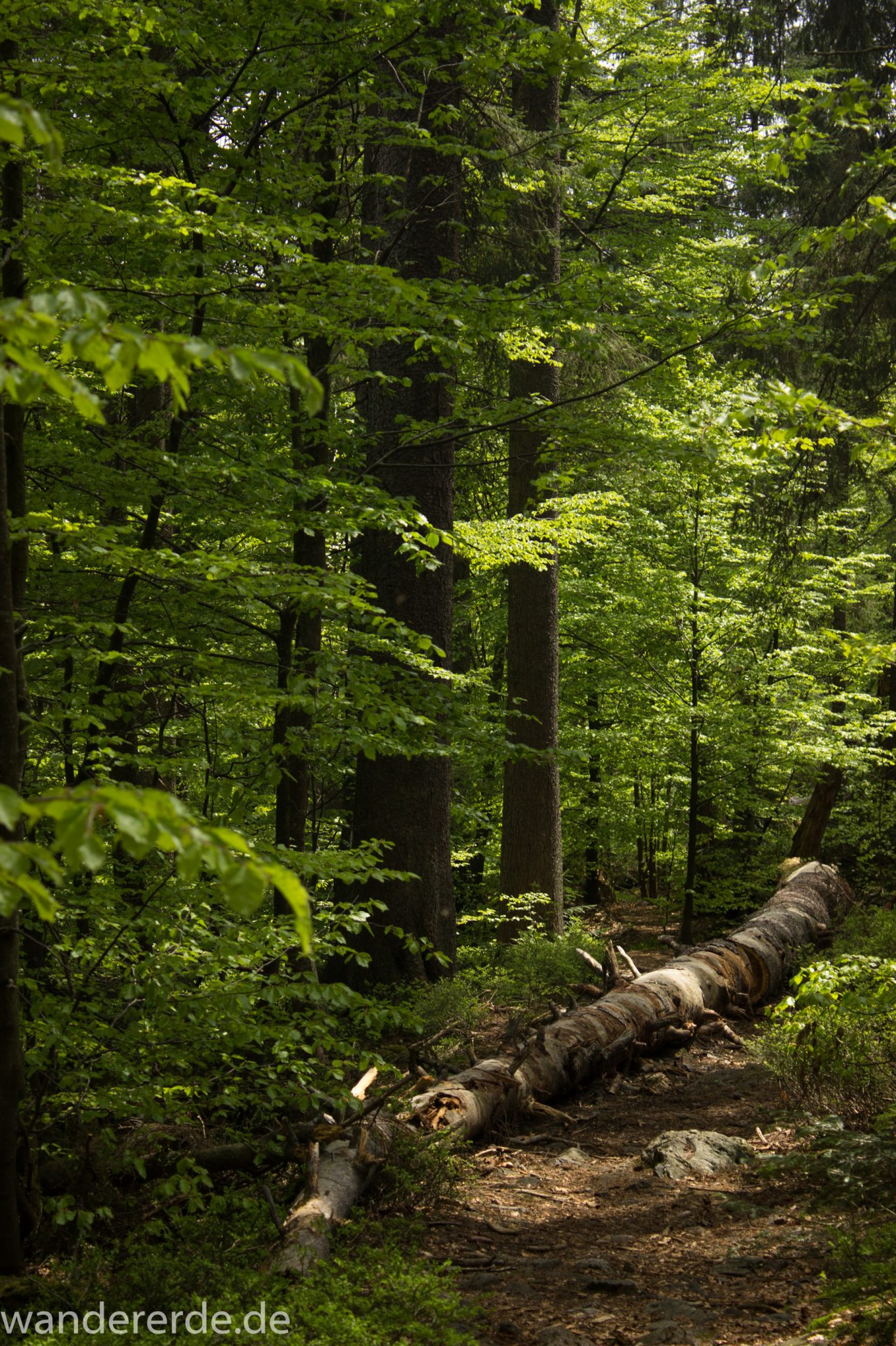 Rundwanderung zum Großen Falkenstein im Bayerischen Wald mit Start beim Zwieslerwaldhaus, auf dem Wanderweg Heidelbeere mit traumhaft schönem und dichtem Wald, toller naturbelassener und schmaler Wanderweg mit kühlendem Schatten, umgefallene Bäume werden liegen gelassen, Frühjahr im bayerischen Wald