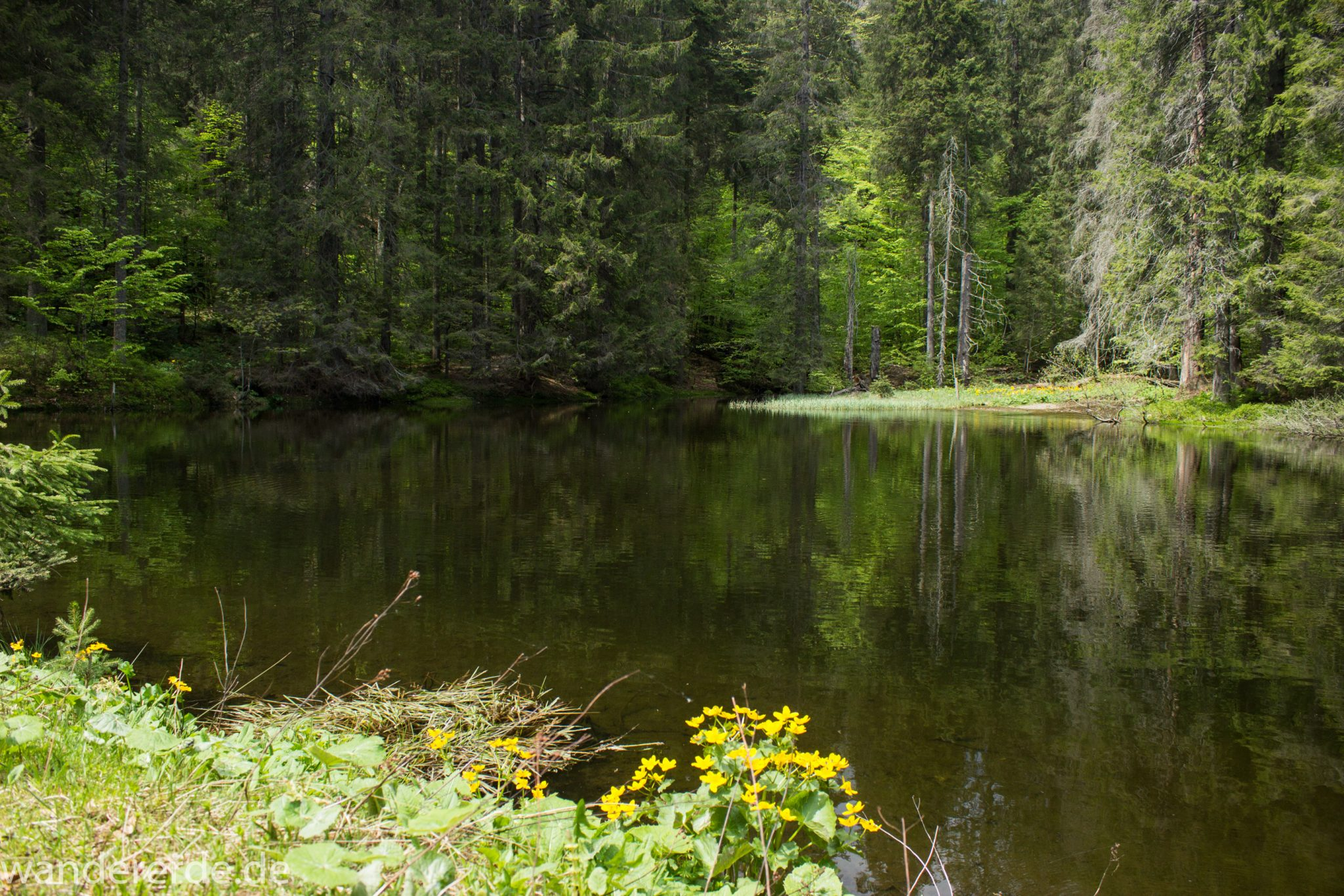 Rundwanderung zum Großen Falkenstein im Bayerischen Wald mit Start beim Zwieslerwaldhaus, auf dem Wanderweg Heidelbeere mit traumhaft schönem und dichtem Wald, kleiner See mit Grasinsel und blühenden Blumen, Frühjahr im bayerischen Wald