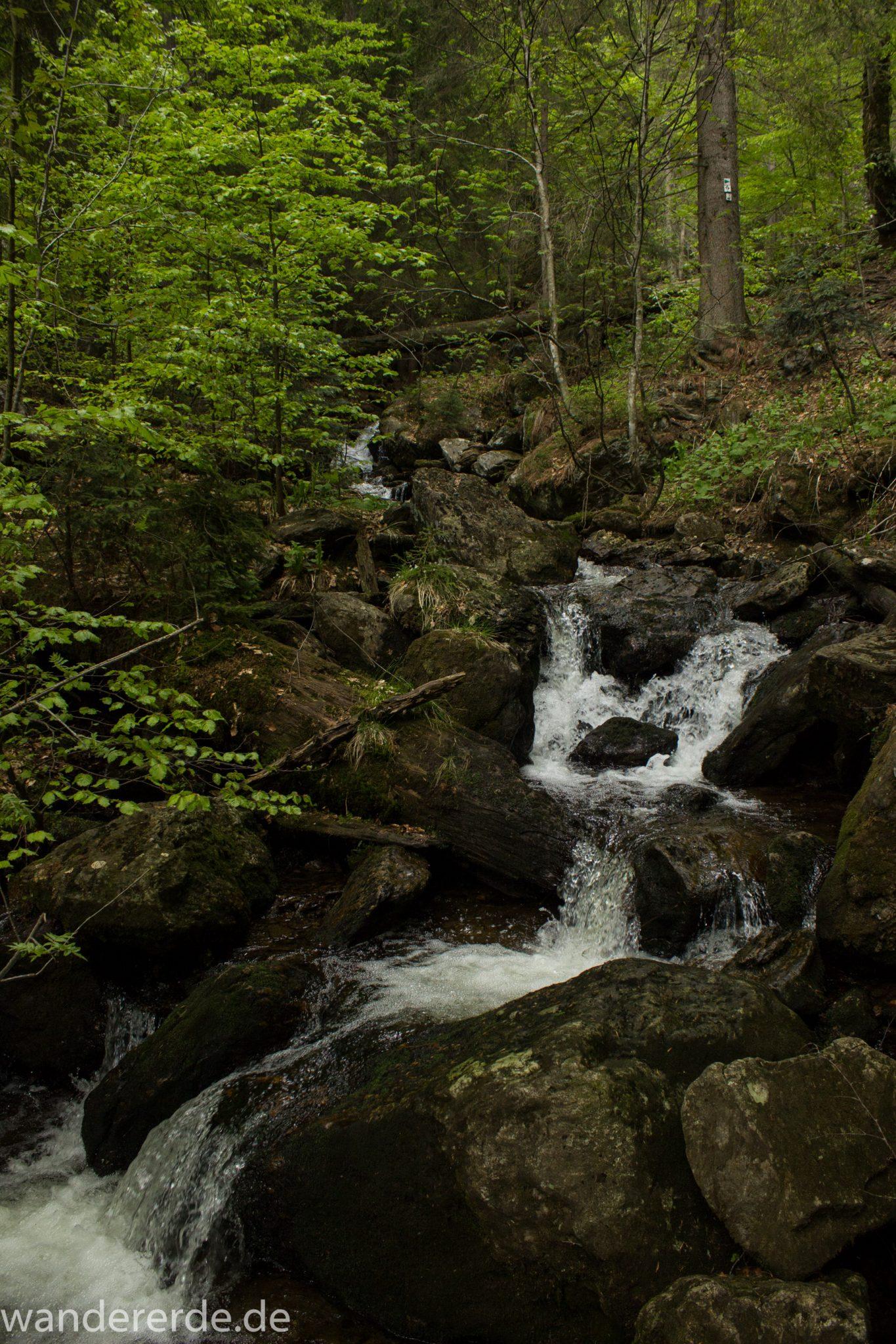 Rundwanderung zum Großen Falkenstein im Bayerischen Wald mit Start beim Zwieslerwaldhaus, auf dem Wanderweg Heidelbeere mit traumhaft schönem und dichtem Wald, kühlender Schatten, Frühjahr im bayerischen Wald, ein kleiner Bach fließt Richtung Tal über Felsen