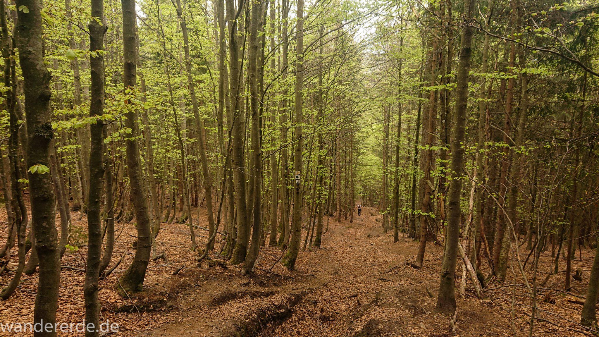 Rundwanderung zum Großen Falkenstein im Bayerischen Wald mit Start beim Zwieslerwaldhaus, Wanderweg Silberblatt mit traumhaft schönem und dichtem Wald, toller naturbelassener Wanderweg mit kühlendem Schatten, letzter Abschnitt der Wanderung auf den Großen Falkenstein ist ziemlich steil, Frühjahr im bayerischen Wald