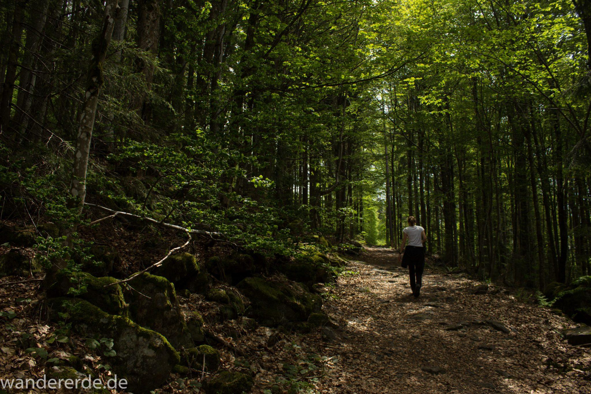 Rundwanderung zum Großen Falkenstein im Bayerischen Wald mit Start beim Zwieslerwaldhaus, Wanderer auf dem Wanderweg Heidelbeere mit traumhaft schönem und dichtem Wald, toller naturbelassener Weg mit kühlendem Schatten, Frühjahr im bayerischen Wald