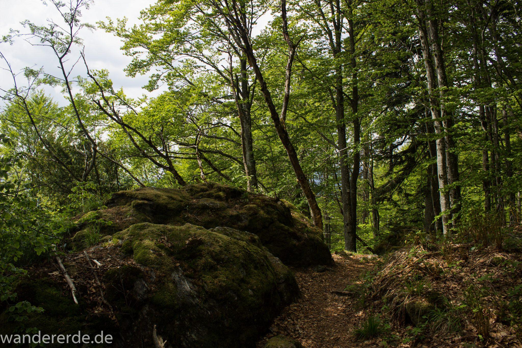 Rundwanderung zum Großen Falkenstein im Bayerischen Wald mit Start beim Zwieslerwaldhaus, auf dem Wanderweg Heidelbeere mit traumhaft schönem und dichtem Wald, toller schmaler naturbelassener Pfad mit kühlendem Schatten, Frühjahr im bayerischen Wald, riesige moosbewachsene Felsen