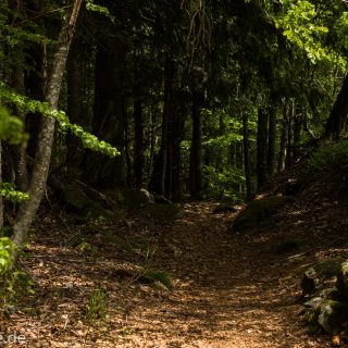 Rundwanderung zum Großen Falkenstein im Bayerischen Wald mit Start beim Zwieslerwaldhaus, auf dem Wanderweg Heidelbeere mit traumhaft schönem und dichtem Wald, toller naturbelassener Weg mit kühlendem Schatten, Frühjahr im bayerischen Wald