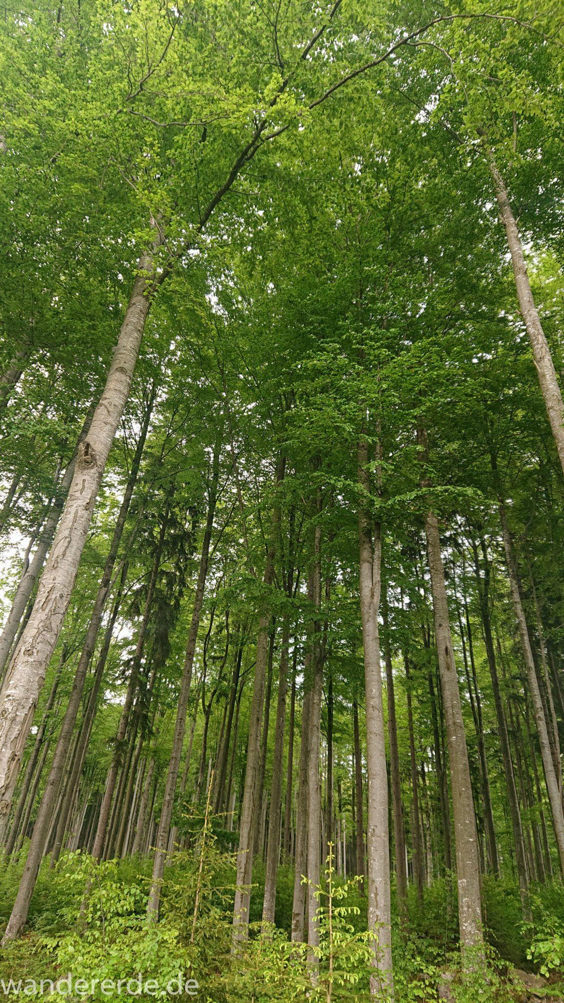 Wanderung Großer Rachel im Nationalpark Bayerischer Wald, Start Parkplatz Oberfrauenau, traumhaft schöner und dichter Wald, Laubbäume, Frühjahr im bayerischen Wald