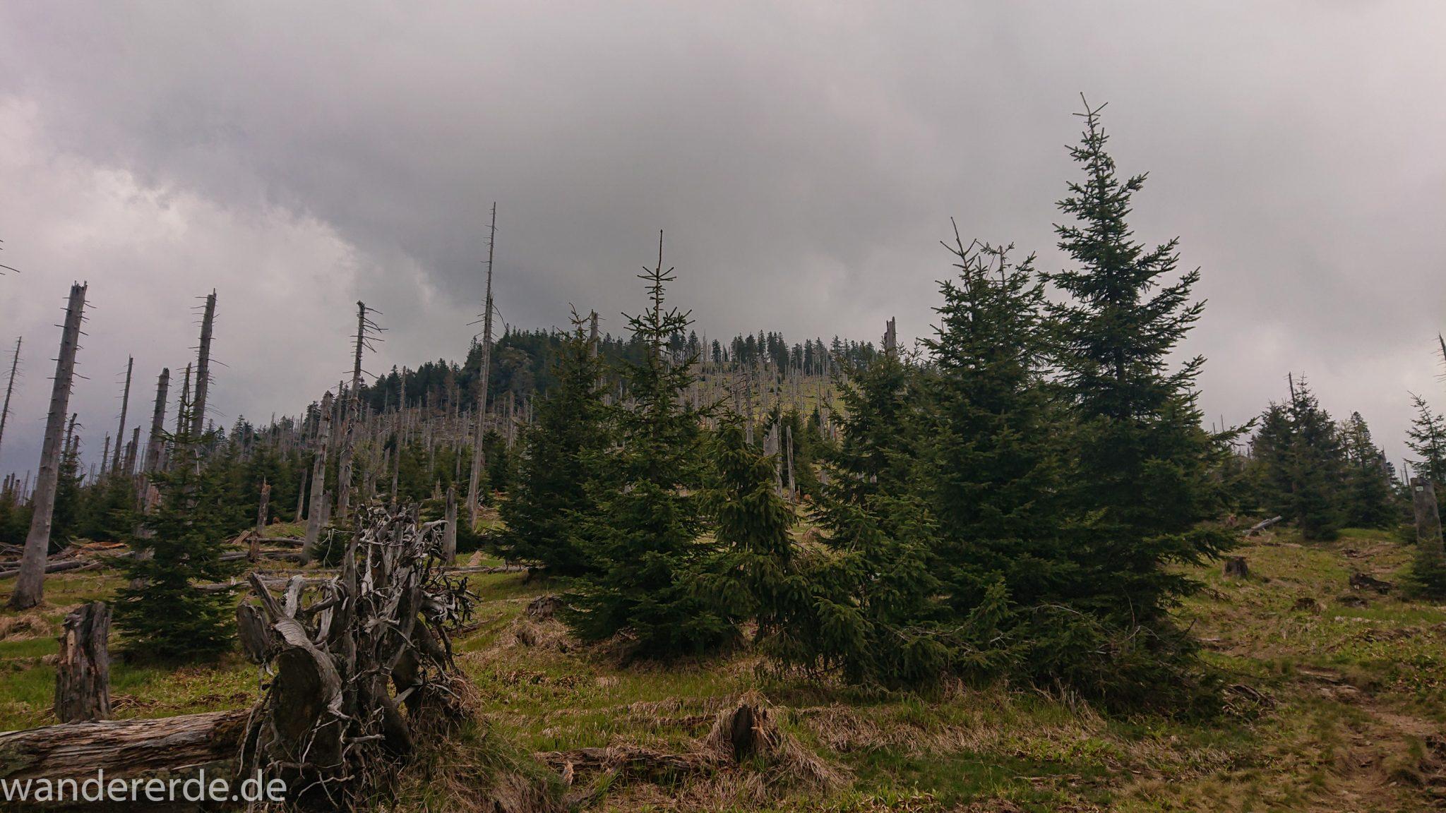 Wanderung Großer Rachel im Nationalpark Bayerischer Wald, Start Parkplatz Oberfrauenau, abwechslungsreicher Wanderweg, umgefallene Bäume werden liegen gelassen, Zerstörung einiger Waldgebiete durch den Borkenkäfer