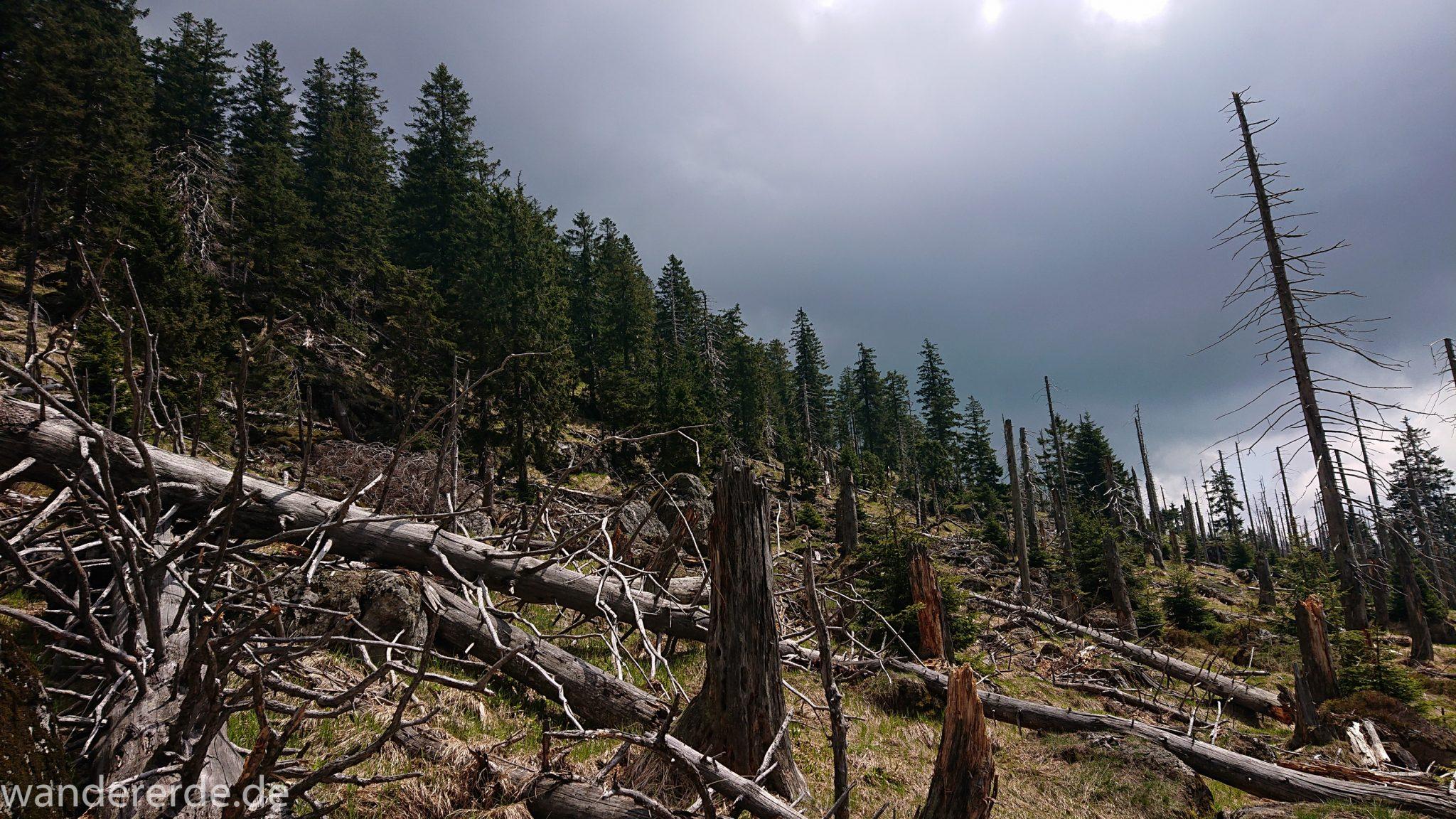 Wanderung Großer Rachel im Nationalpark Bayerischer Wald, Start Parkplatz Oberfrauenau, abwechslungsreicher Wanderweg, schmaler Pfad, umgefallene Bäume werden liegen gelassen, Zerstörung einiger Waldgebiete durch den Borkenkäfer