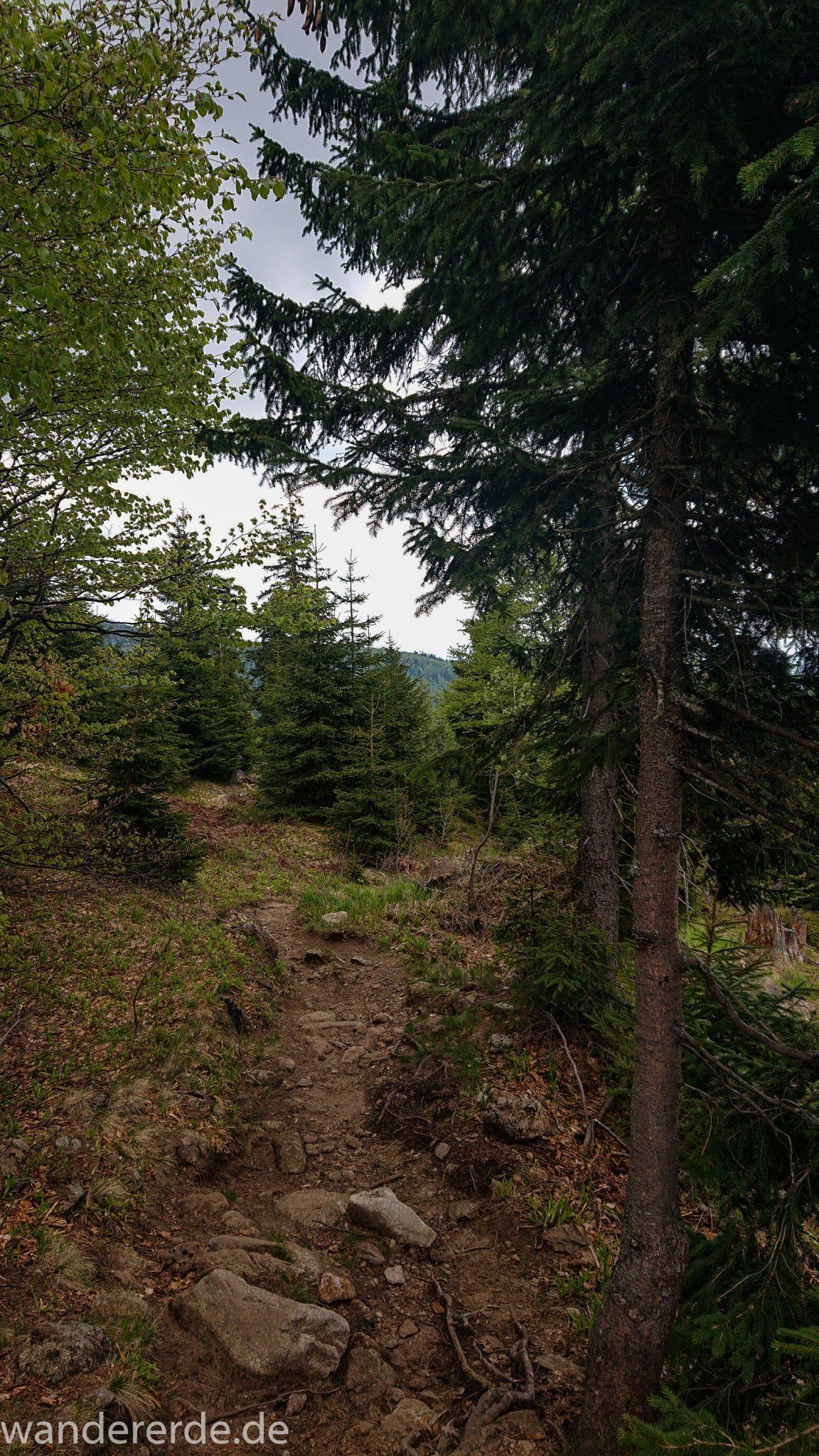 Wanderung Großer Rachel im Nationalpark Bayerischer Wald, Start Parkplatz Oberfrauenau, abwechslungsreicher Wanderweg, auf schmalem Pfad über Stock und Stein, schöner dichter Wald, Laubbaum, Nadelbaum