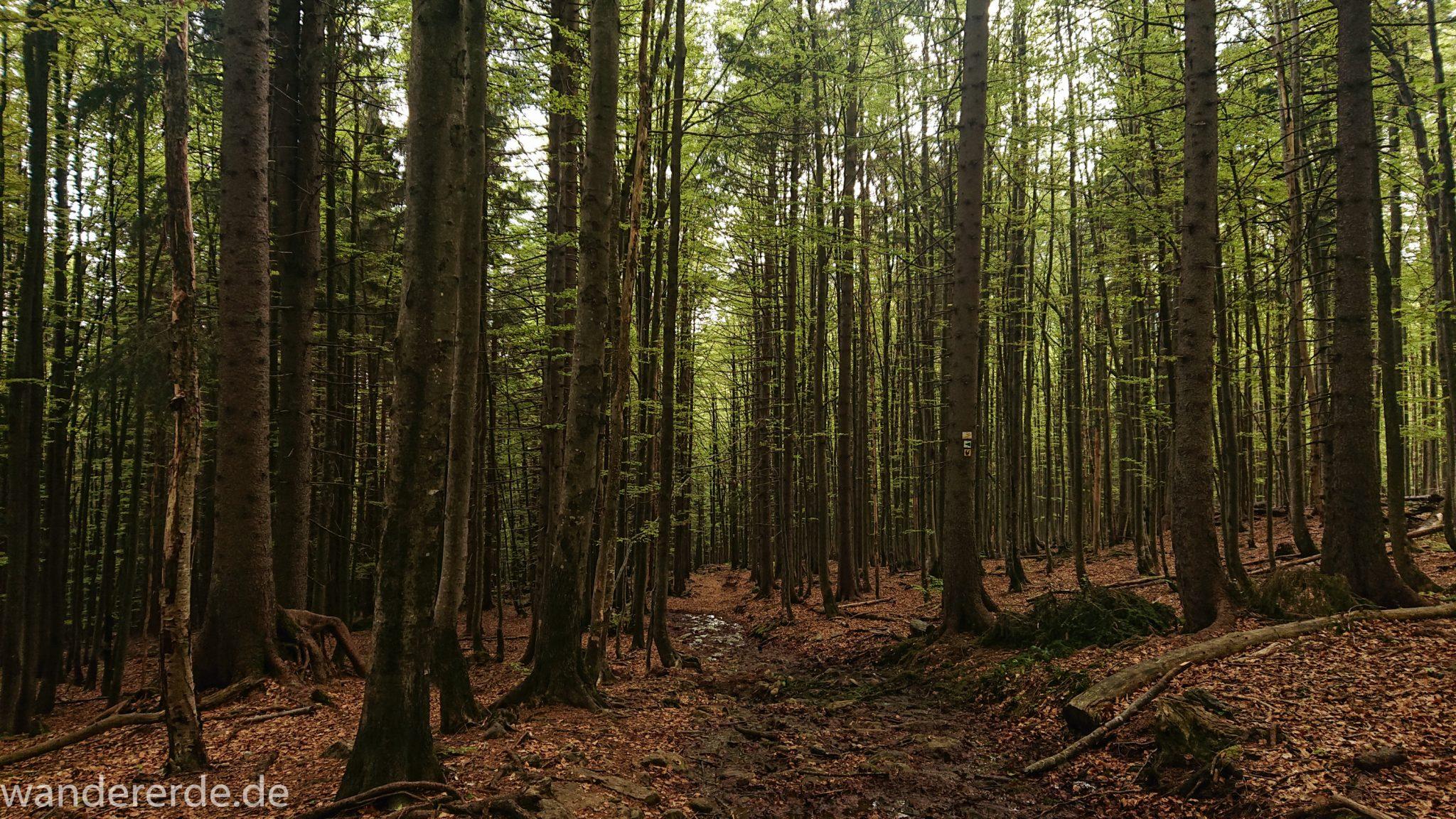 Wanderung Großer Rachel im Nationalpark Bayerischer Wald, Start Parkplatz Oberfrauenau, abwechslungsreicher Wanderweg, auf tollem Pfad über Stock und Stein, teils sehr matschig, schöner dichter Wald, Laubbaum, Nadelbaum, Wegmarkierung an Baum