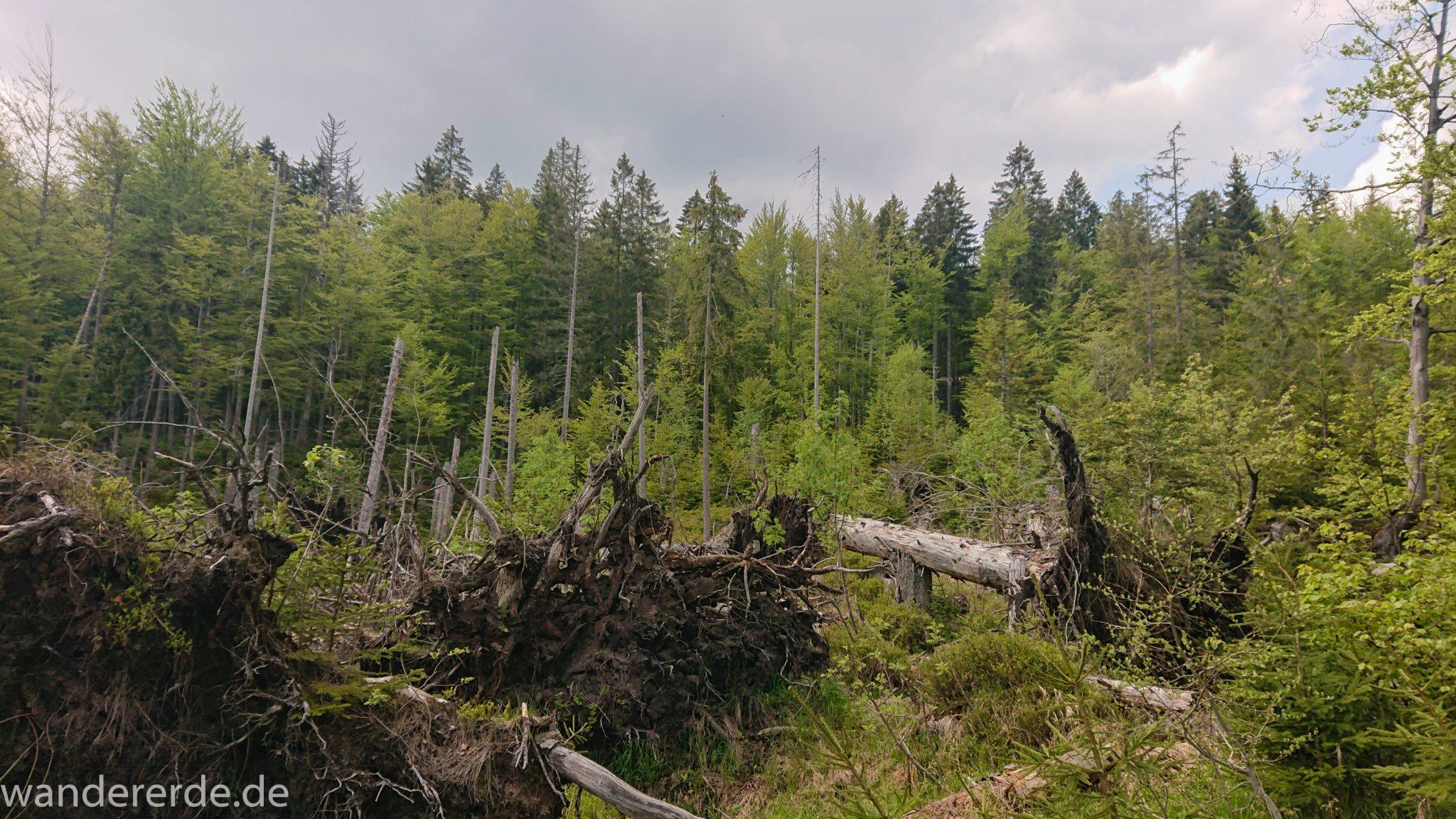 Wanderung Großer Rachel im Nationalpark Bayerischer Wald, Start Parkplatz Oberfrauenau, abwechslungsreicher Wanderweg, Zerstörung einiger Waldgebiete durch den Borkenkäfer, umgefallene Bäume werden liegen gelassen im Nationalpark, Natur wird sich selbst überlassen, schöner dichter Wald in verschiedensten Grüntönen, Mischwald aus Laub- und Nadelbäumen