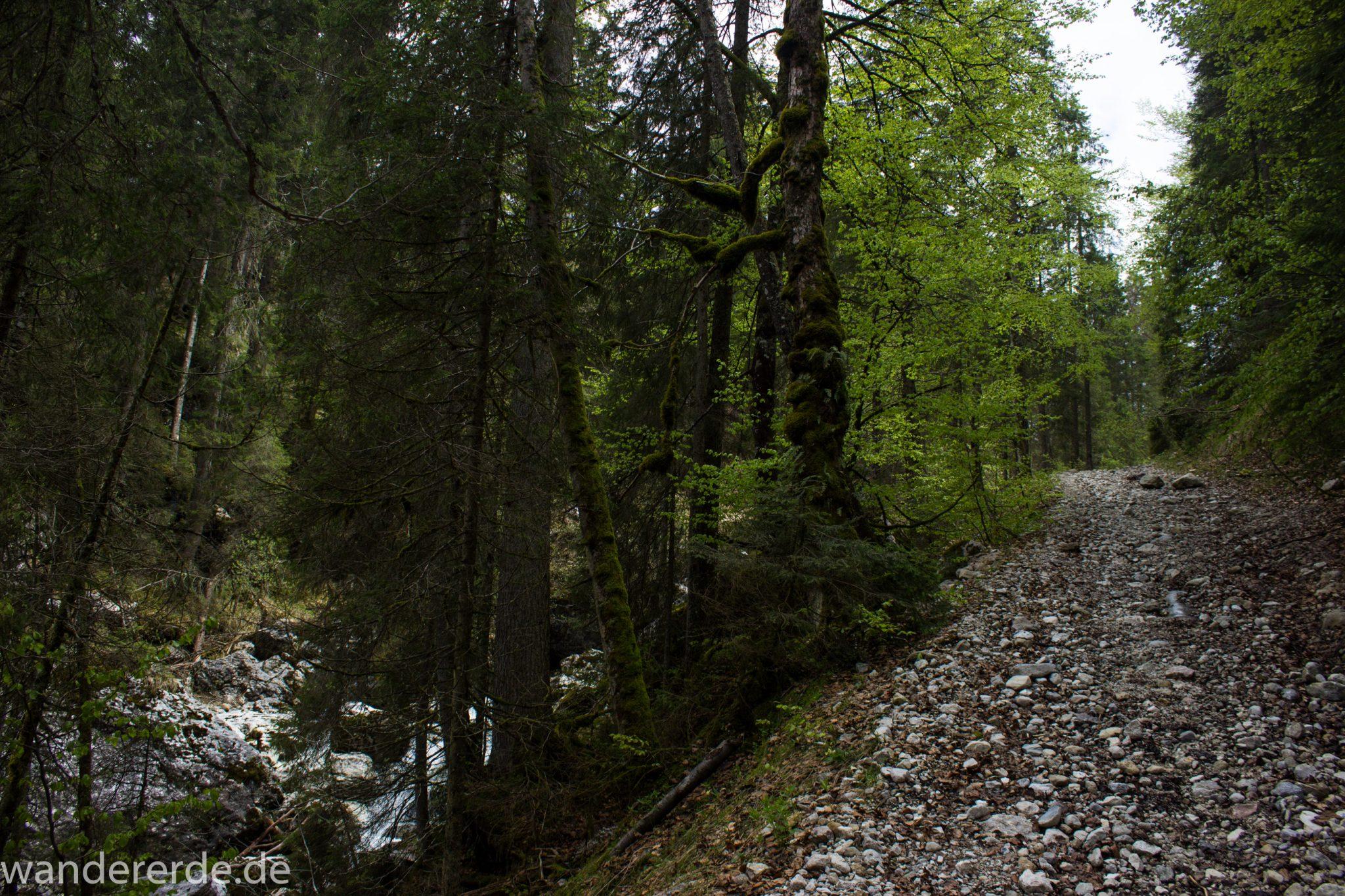 Wanderung zur Kenzenhütte in den Ammergauer Alpen, schmaler Wanderpfad entlang Bach, menschenleerer Weg, Frühjahr in den bayerischen Alpen, dichter grüner Wald