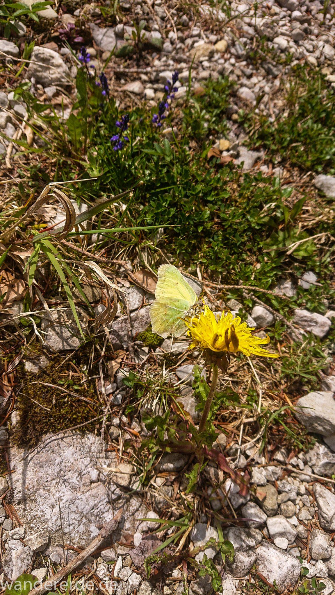 Wanderung zur Kenzenhütte in den Ammergauer Alpen, Schmetterling sitzt an Löwenzahn