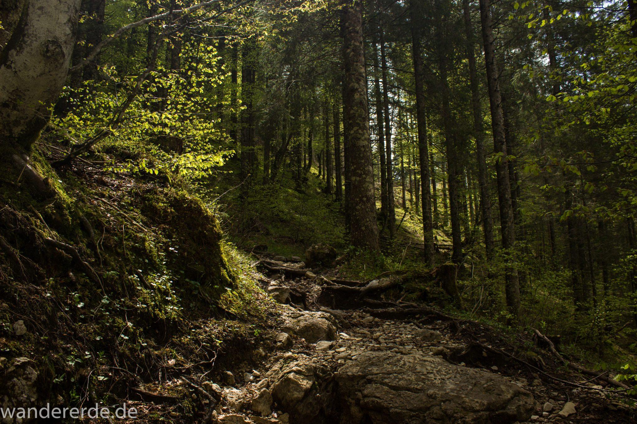 Wanderung zur Kenzenhütte in den Ammergauer Alpen, schmaler Wanderweg wird zunehmend steiler, schöner, dichter und grüner Waldweg über Stock und Stein, sehr atmosphärisch, kühlender Schatten im Wald