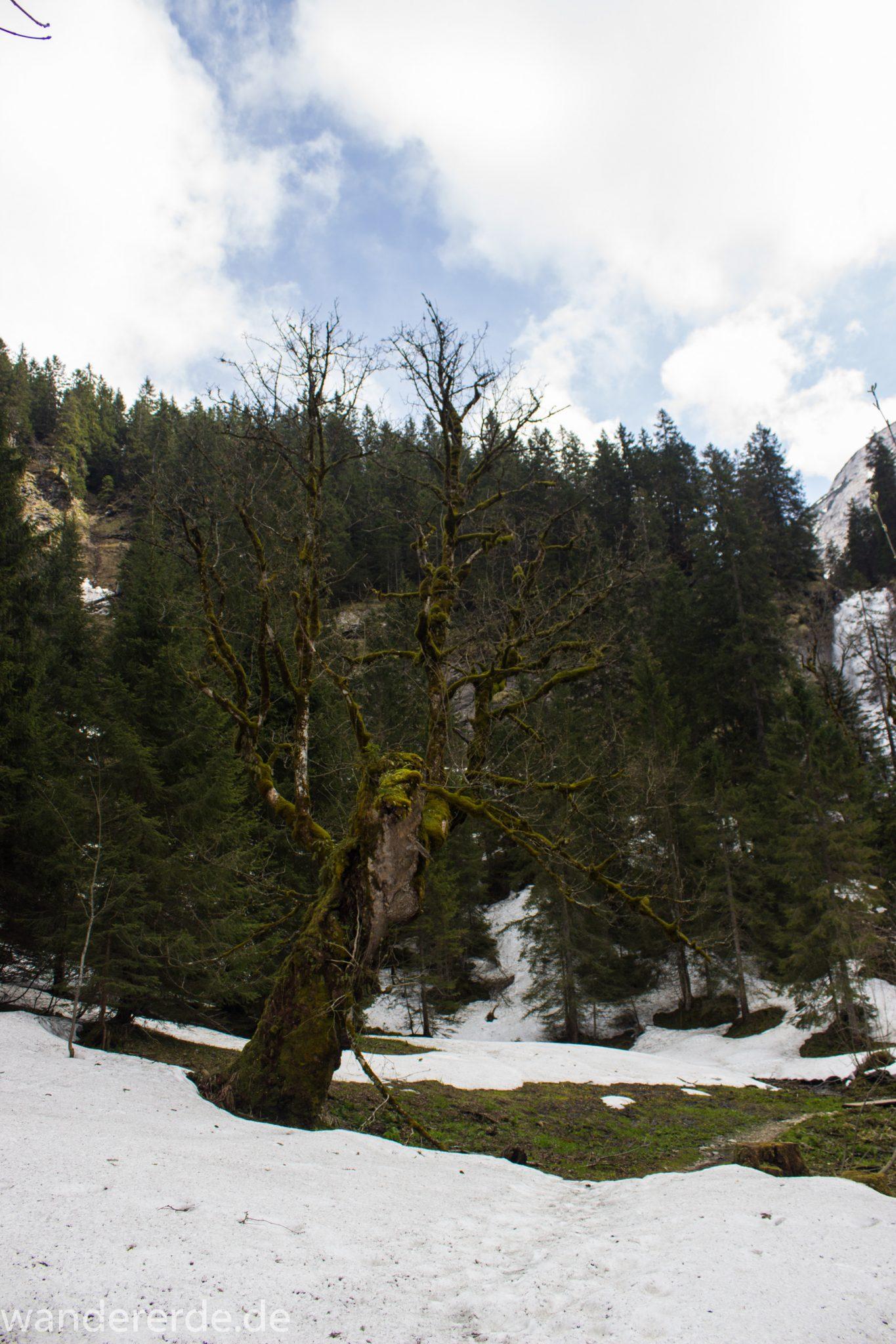 Wanderung zur Kenzenhütte in den Ammergauer Alpen, Schneefelder im Frühjahr in den Ammergauer Alpen in Bayern, dichter Nadelwald am Berghang