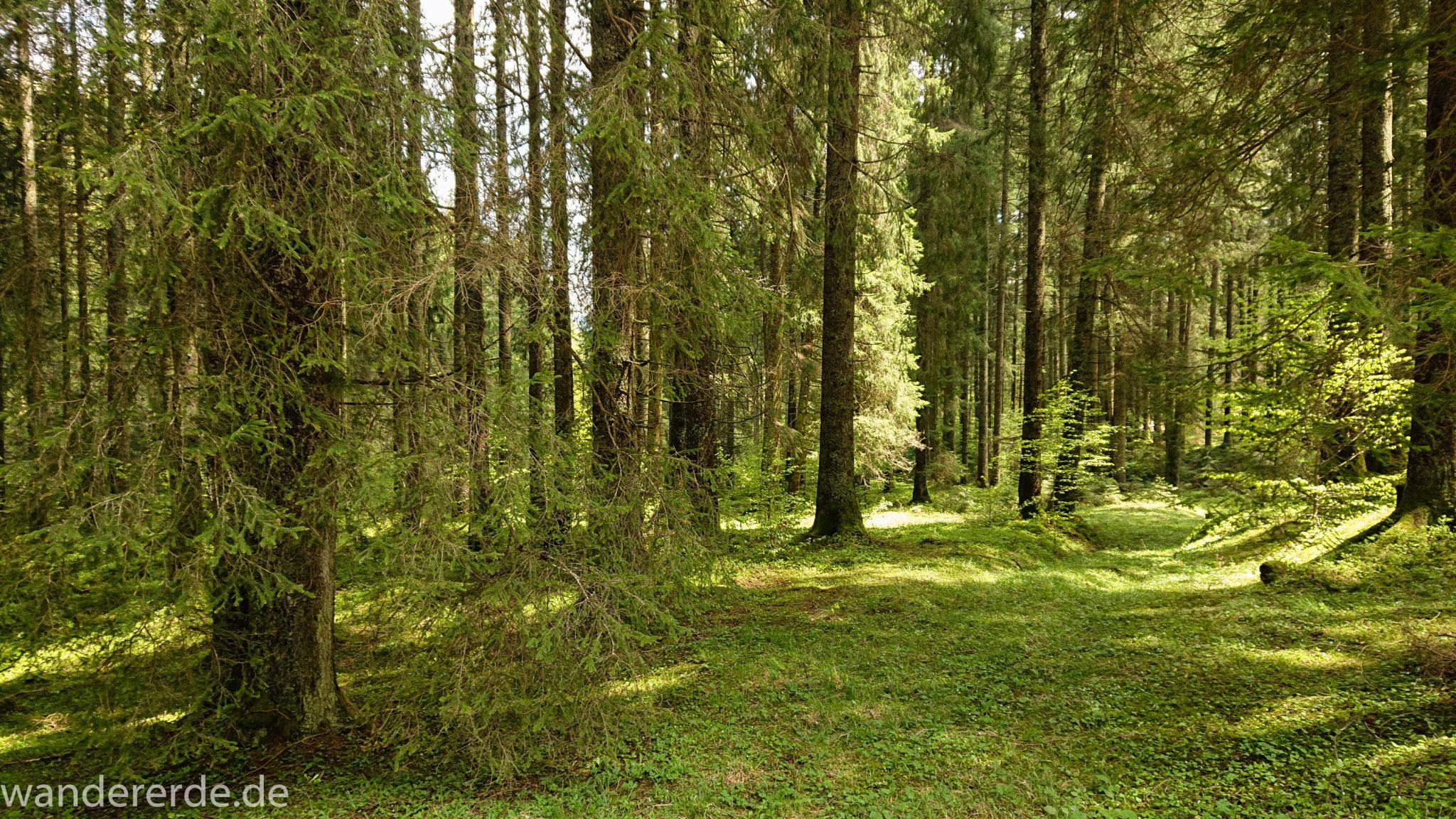 Wanderung zur Kenzenhütte in den Ammergauer Alpen, dichter grüner Wald, saftig grün bedeckter Waldboden