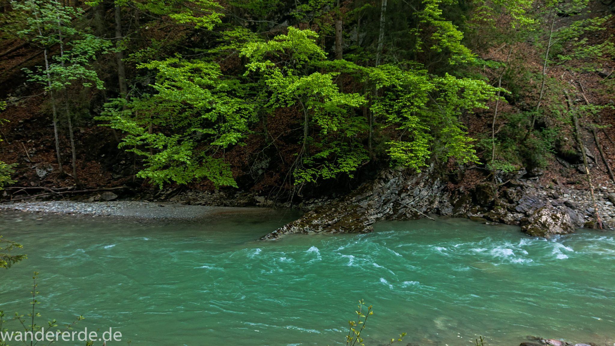 Wanderung zur Kenzenhütte in den Ammergauer Alpen, Frühjahr in den bayerischen Alpen, dichter grüner Wald, schöne Laubbäume, Wanderweg führt entlang schönen, idyllischem Fluss Halblech, nach viel Regen sehr voller Fluss Halblech, mintgrünes Gletscherwasser bahnt sich seinen Weg ins Tal